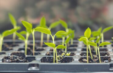 reenhouse-seedlings